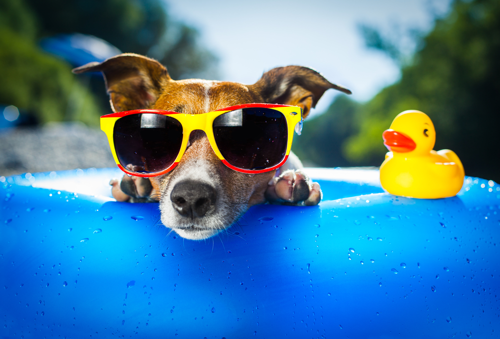 Party dog with sunglasses rubber ducky and pool float